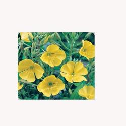 Evening Primrose - 50 Capsules