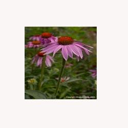 Echinacea - 50 Capsules