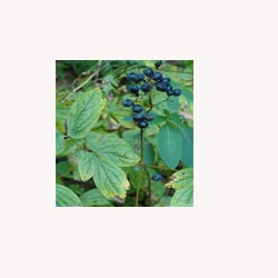 Blue Cohosh - loose tea