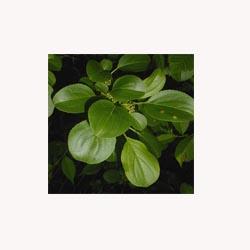 Buckthorn Leaf - 50 capsules
