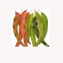 Eucalyptus - 50 Capsules