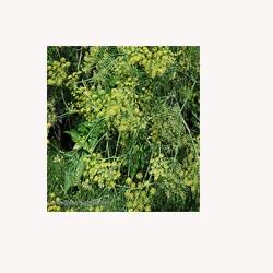 Dill Weed - Loose Tea