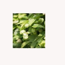 Hops - Loose Tea