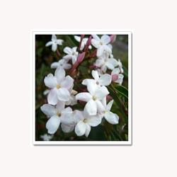 Jasmine Flowers - 50 Capsules
