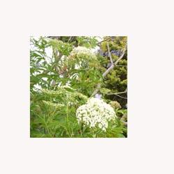 Elder Flower - Loose Tea
