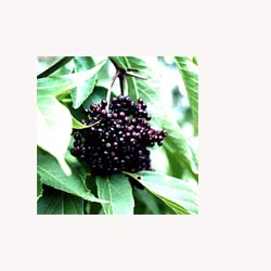 Elder Berries - 50 Capsules