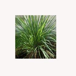 Lemongrass - 50 Capsules