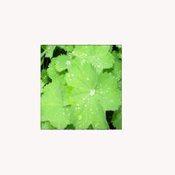Lady's Mantle - 50 Capsules