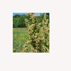 Yellowdock - Loose Tea