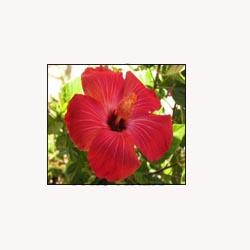 Hibiscus Flowers - 50 Capsules
