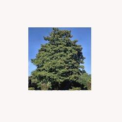 Magnolia - 50 Capsules