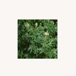 Meadowsweet Herb - Loose Tea