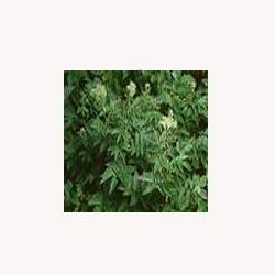 Meadowsweet Herb - 50 Capsules