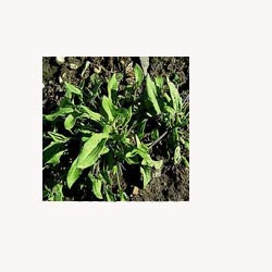 Sheep Sorrel - Loose Tea