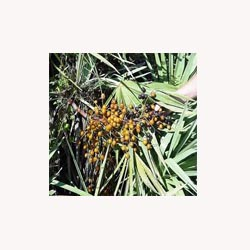 Saw Palmetto Berries (whole) - Loose Tea