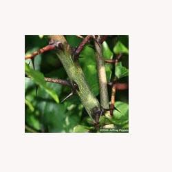 Prickly Ash - 50 Capsules