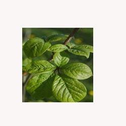 Eleuthero - Loose Tea