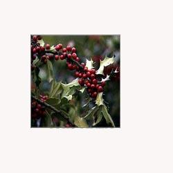 Mistletoe - Loose Tea