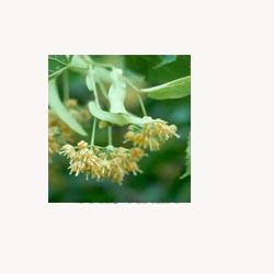 Linden Flowers - 50 Capsules