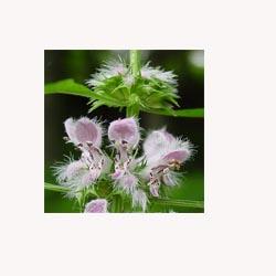 Motherwort - 50 Capsules