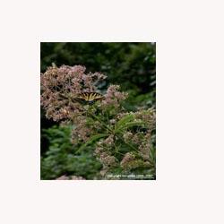 Queen of the Meadow - Loose Tea