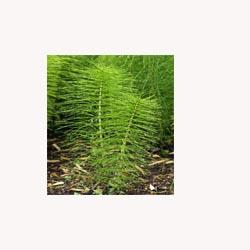 Horsetail - Loose Tea