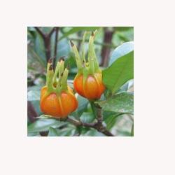 Gardenia Fruit - 50 Capsules
