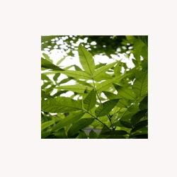 Neem Leaf - 50 Capsules