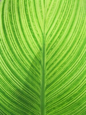 Green Kratom Strains