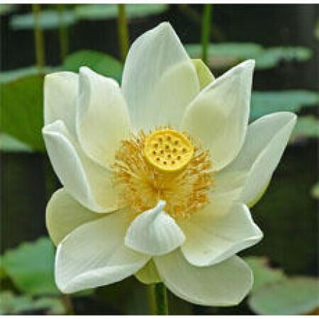 Exotic White Lotus Floral Water