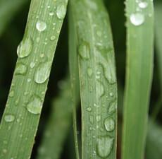 Lemongrass Floral Water
