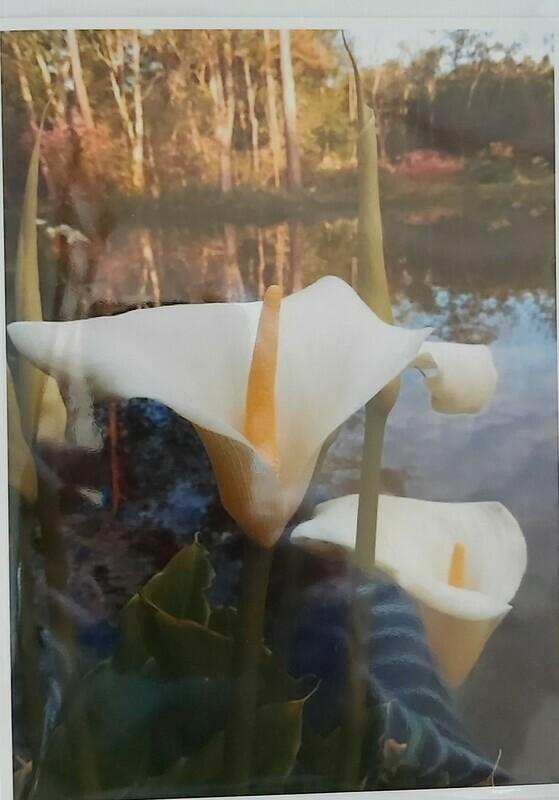 Arum Lillies, Achamore Gardens, Isle of Gigha