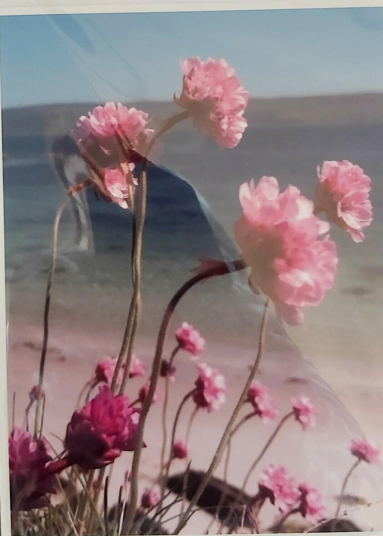 Sea-Pinks at Gigulum, Isle of Gigha