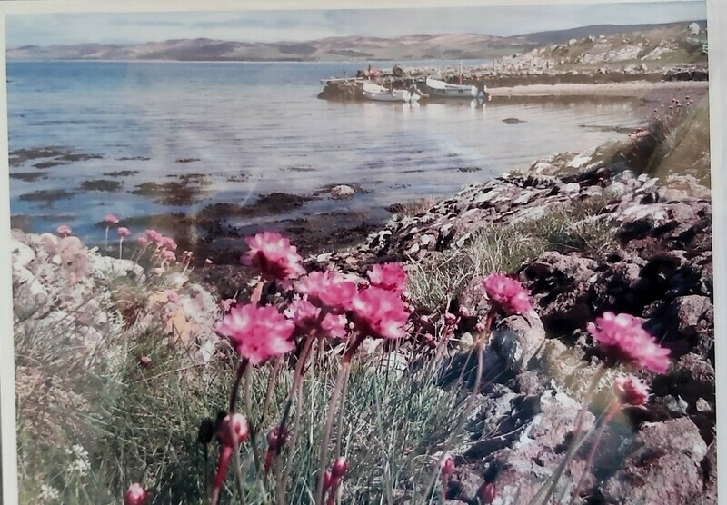 Sea Pinks at Gallochoille