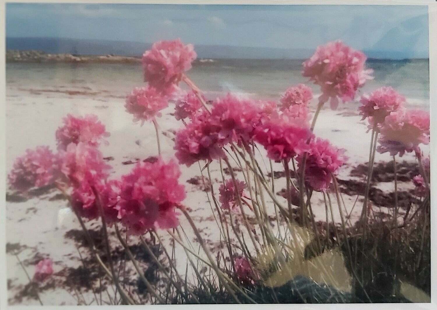 Sea Pinks at Minister's Shore, Isle of Gigha