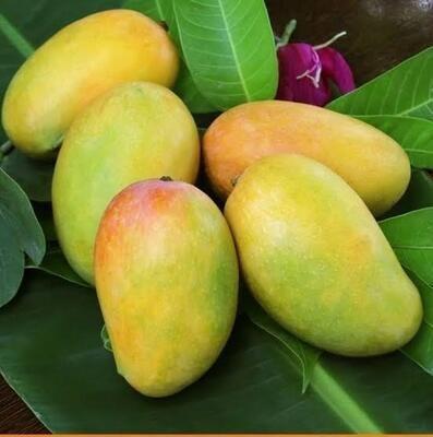 Organic Kutch Kesar Mangoes (2.7 to 3 Kg)