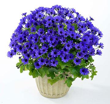 Primavera ™ Navy Blue