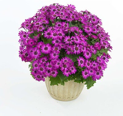 Primavera ™ Violet