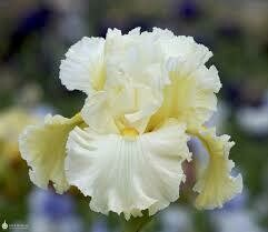 Cloud Dweller Iris