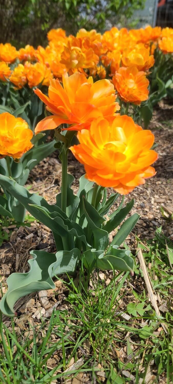 Orca Double Tulip 10 stems