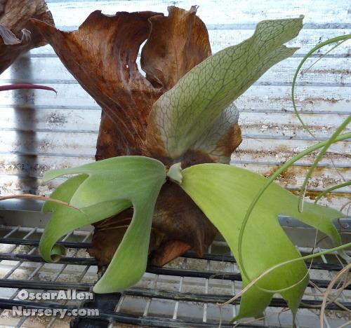 Platycerium andinum-mature mounted offset