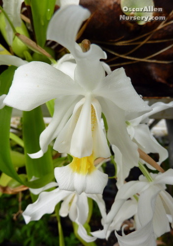Coelogyne cristata   bare root division