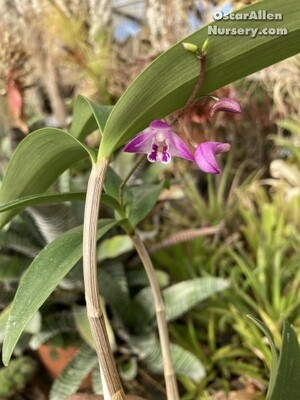 Dendrobium kingianum-Dark pink form