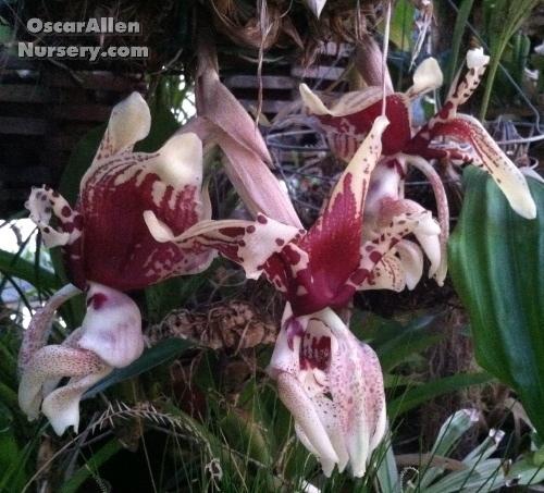 Stanhopea tigrina - seedgrown plant