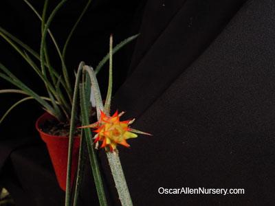 Acanthostachys strobilacea, seedling