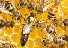 Bienenkoenigin Buckfast, lieferbar vom 2. Mai bis 15. November