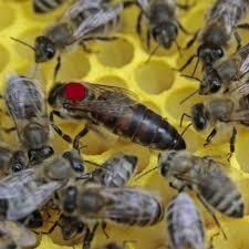 Bienenkoenigin Carnica, lieferbar vom 2. Mai bis 15. November