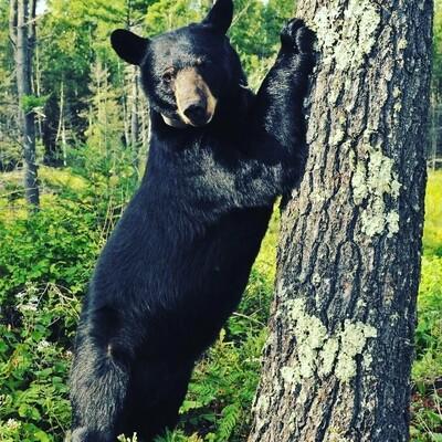 Black Bear Medicine Amulet