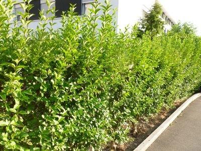 Troène de Californie, à feuilles ovales
