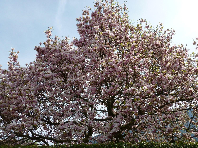 """Cerisier du Japon """"Kanzan"""""""